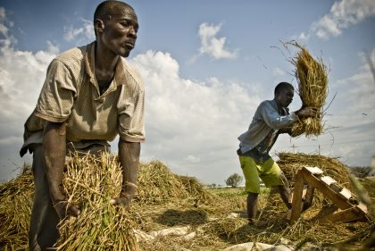 Prezzi bassi e raccolti record, le previsioni della Fao sui cereali