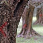 La lotta alla Xylella del Cnr