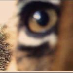 Mamma tigre e i suoi cuccioli nella Foresta di Sumatra